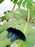 Black butterfly. Sitting on a green leaf royalty free stock photography