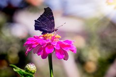 Black butterfly sitting on a pink flower. The sun rays illuminate the flower and the butterfly_. Black butterfly sitting on a pink flower. The sun rays royalty free stock photos