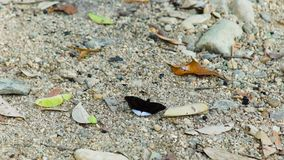 Black butterfly sitting on sand close up. Beautiful butterfly with white spots on black wings on background sand and stock footage