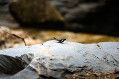 Black butterfly stand alone on silver stone in the forest Stock Photos