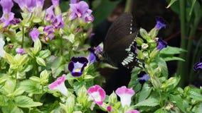 Black Butterfly Sucked Wishbone Royalty Free Stock Photos