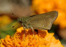 Black Butterfly on Top Orange Multi Petaled Flower Close Up Photography Royalty Free Stock Images