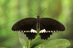Black butterfly with a white belt sitting on a leaf. Animals royalty free stock image