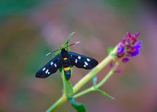 Black butterfly with white dots and orange stripe.  royalty free stock photography
