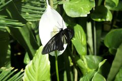 Black butterfly on white flower spathiphyllum. Eats nectar. Tropical butterfly in natural conditions among plants Royalty Free Stock Images