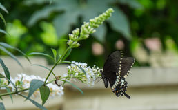 Black butterfly. On a white plant stock image
