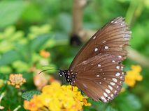 Black butterfly with white spot sucking nectar or juice of yellow blossom flower in a garden. Black butterfly with white spot in close up sucking nectar or juice stock images