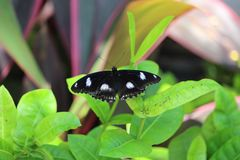 Black butterfly with white spot markings at Thailand Stock Photography