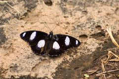 Black butterfly with white spots lay on a lava rock in ambosseli. Park in Kenya stock image