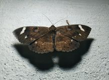 Black butterfly with white spots royalty free stock photography