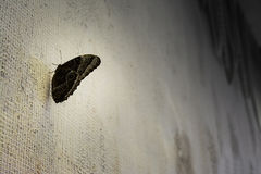 Black butterfly on white wall. Black butterfly is sitting on textured white wall. Natural background royalty free stock image