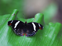 The black butterfly woth white stripes sitteng on green leave Stock Image