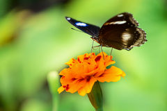Black butterfly on yellow flower Stock Image