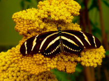 Black butterfly yellow stripes Zebra Heliconian Stock Images