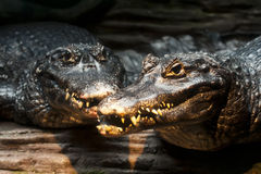 Black caiman Stock Image