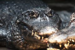 Black caiman Stock Images