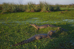 Black Caiman stock photography