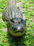 Black Caiman Closeup. Closeup of a Black Caiman in Leticia, Columbia Stock Photo