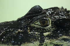 Black caiman Royalty Free Stock Images