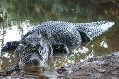 Black Caiman at Madidi National Park, Bolivia Stock Photography