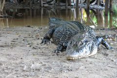 Black Caiman at Madidi National Park, Bolivia Stock Photos