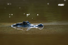 Black Caiman in the water Stock Photos