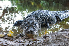 Black Caiman at Yacuma National Park, Bolivia Royalty Free Stock Photos