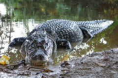 Black Caiman at Yacuma National Park, Bolivia Stock Image