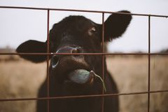 Black Calf Behind Steel Fence Royalty Free Stock Photography