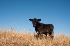 Black calf in a pasture Royalty Free Stock Images