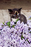 Black calico kitten cat, purple lilacs Stock Images