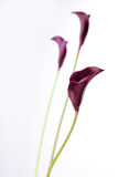 Black calla Stock Photography