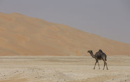 Black Camel in Liwa desert royalty free stock photos