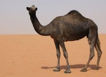 Black Camel royalty free stock photography