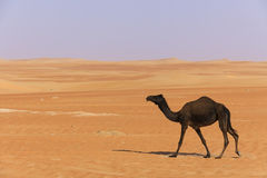 Black camel walking through the UAE desert Stock Photo