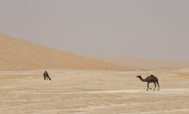 Black Camels in Liwa desert royalty free stock photos