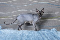 Black Canadian Sphynx cat Royalty Free Stock Images