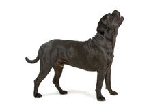 Black Cane Corso dog Stock Image