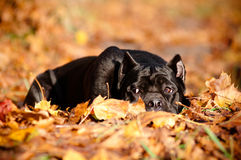 Black cane corso dog lying in autumn leaves Stock Images