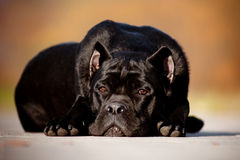 Black cane corso dog lying down on concrete Stock Images