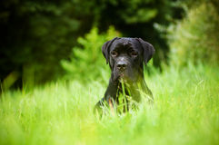 Black cane corso dog portrait outdoors Stock Images
