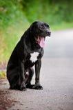 Black cane corso dog portrait outdoors Stock Photo
