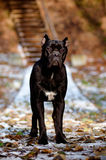 Black cane corso dog standing Royalty Free Stock Photography