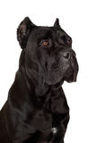 Black cane corso dog Royalty Free Stock Photo