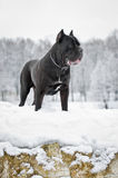 Black cane corso dog winter portrait Royalty Free Stock Photo