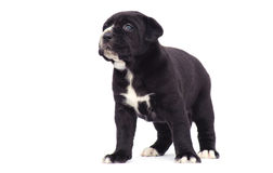 Black cane corso puppy dog Royalty Free Stock Image