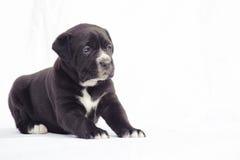 Black cane corso puppy dog. Black puppy dog isolated on white background Royalty Free Stock Images
