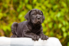 Black cane corso puppy Stock Image