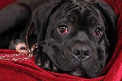 Black cane corso puppy portrait Stock Photo