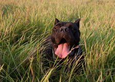 Black dog resting on the grass Stock Photo